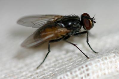 pest-flies