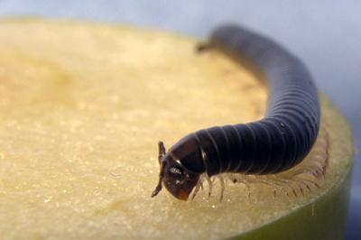 pest-millipede