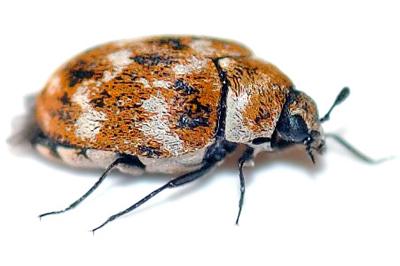 carpet-beetles
