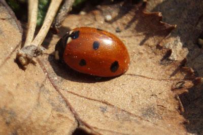 pest-control-ladybug