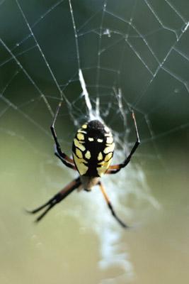 pests-orb-weaver-spider