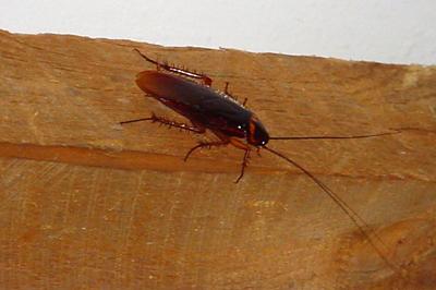 missouri-pests-roaches