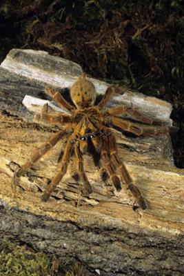 pest-tarantula-spider