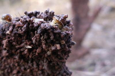 pests-termites