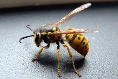 pests-wasps
