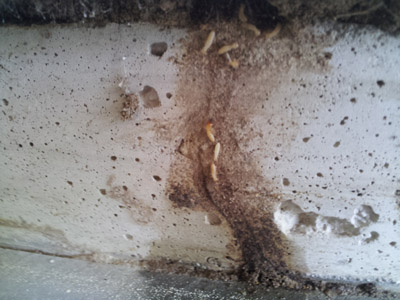 termite-infestation