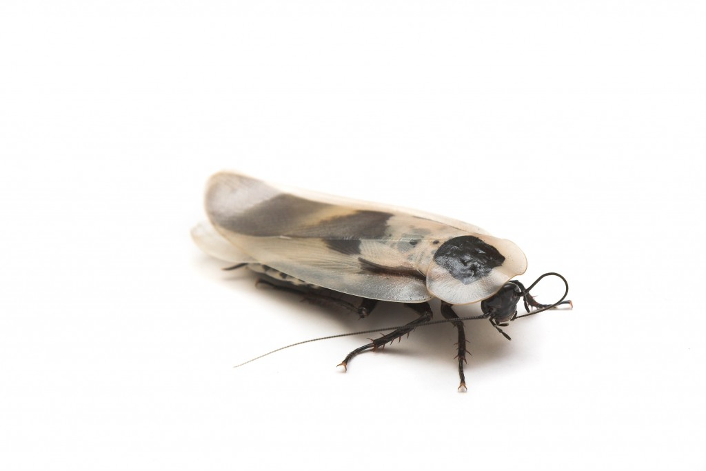Florida Palmetto Bugs